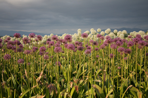 Skagit Valley Flowers